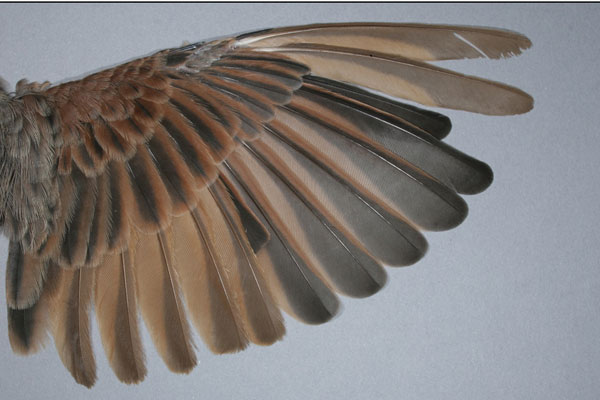 Nir Sapir – Bio-mechanical, ecological, evolutionary and life-history related aspects of bird feather moult