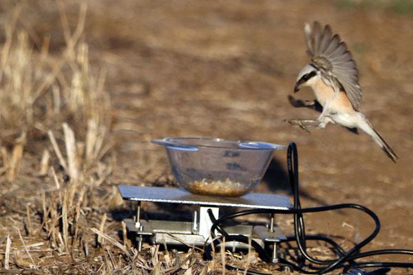 Nir Sapir – Bird migration and stopover ecology